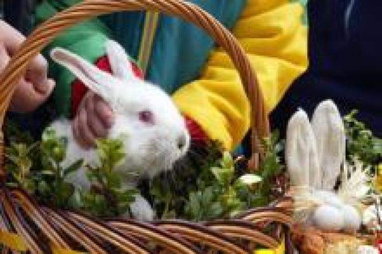 Swiecony zajac